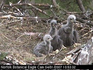 Youtubes of Baby eagles wild life