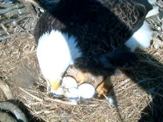 Video pics of eagle eggs in nest images