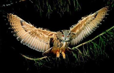 Video pics of flying owl attack