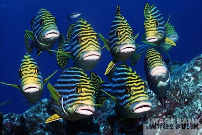 youtube of Oriental Sweetlips images