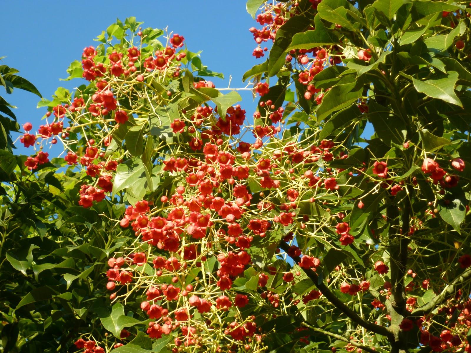 Cagliari in verde la pianta con i frutti lampadario for Pianta ornamentale con fiori a grappolo profumatissimi