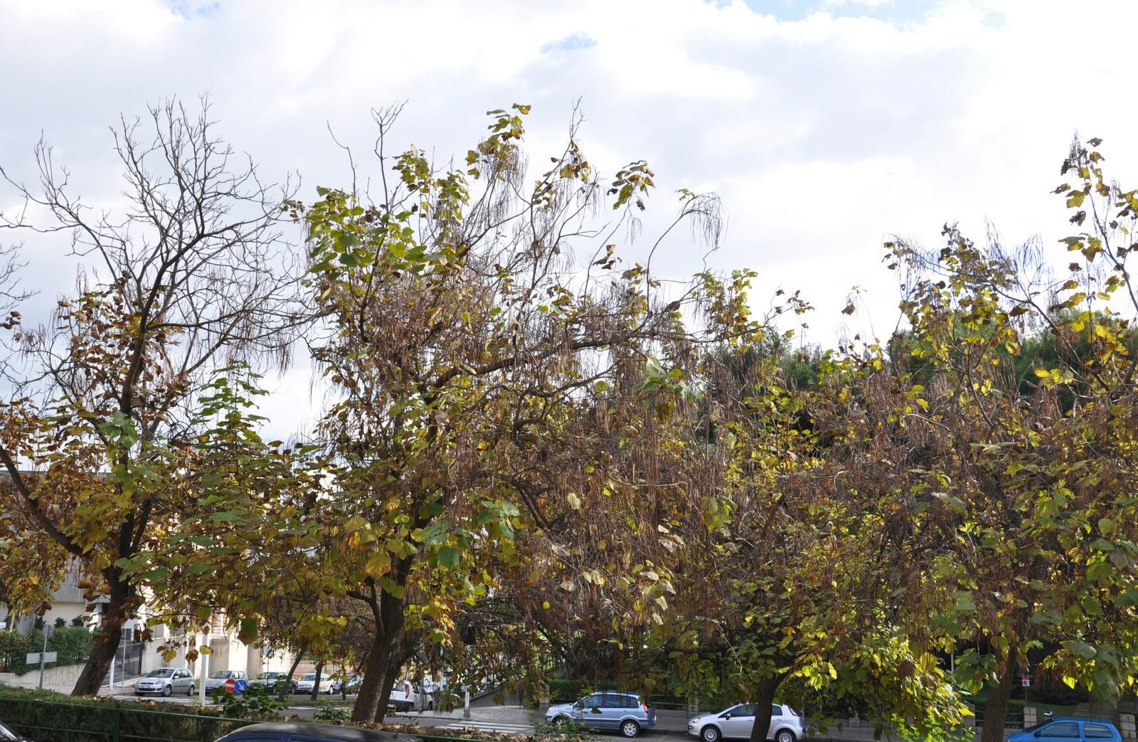 Cagliari in verde l 39 albero dei sigari - Alberi adatti per viali ...