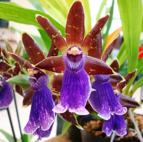 Resultado de imagen para extincion orquidea