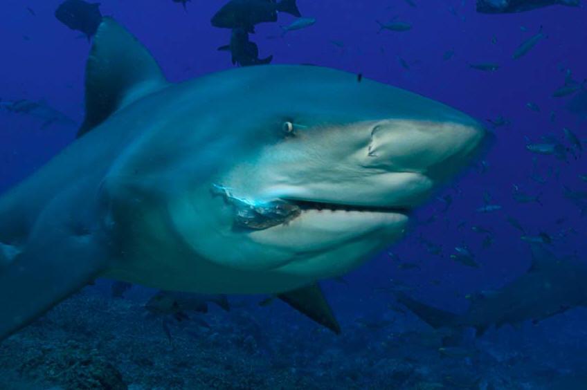 Bull sharks in freshwater lakes