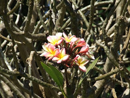 a splash of colour, frangipani flower