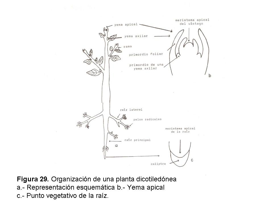 proyectobiologia: Anatomia de plantas. Clasificación. 5To. B