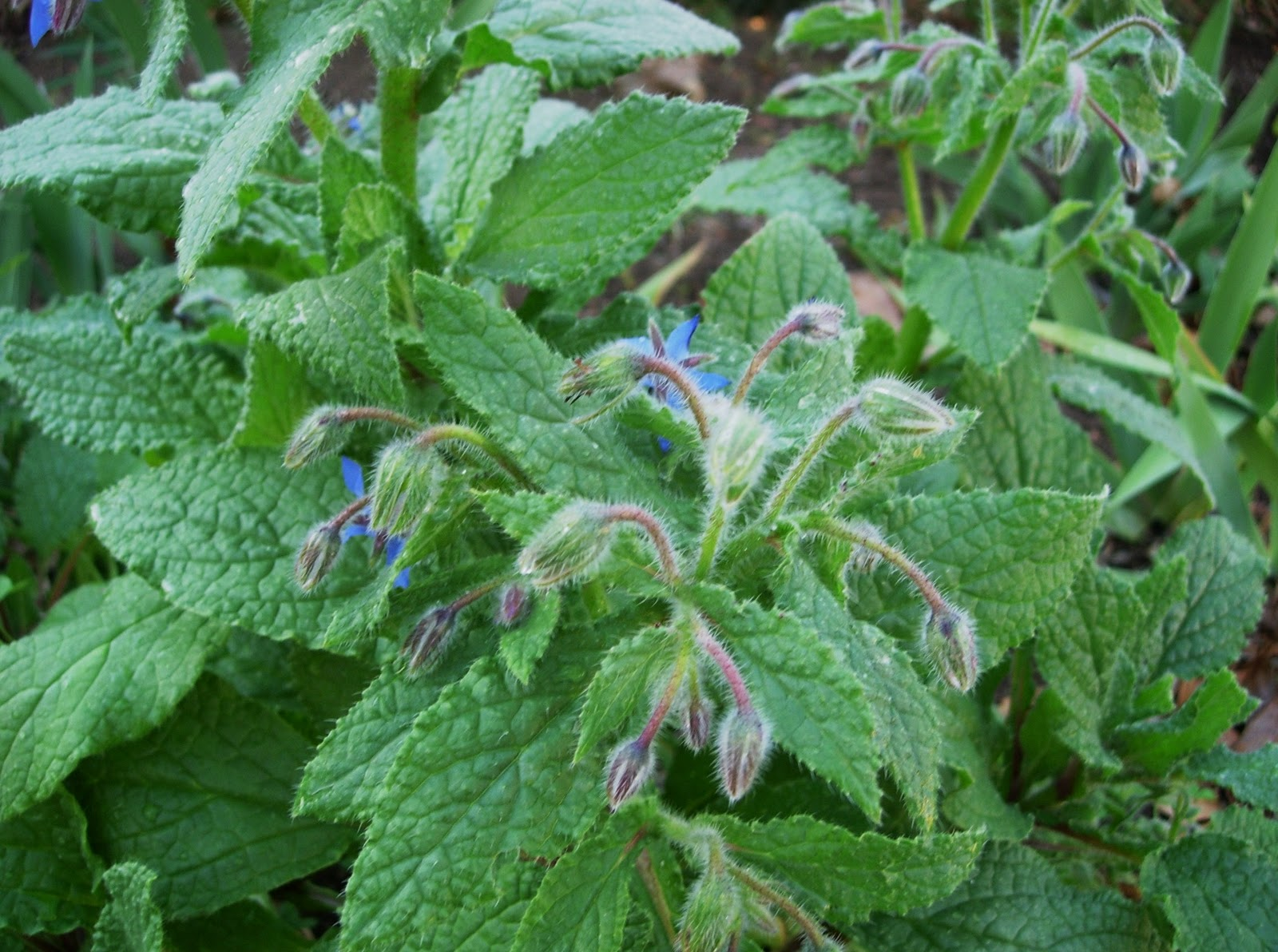 thyme in a bottle borage for fortitude calm and floral ice