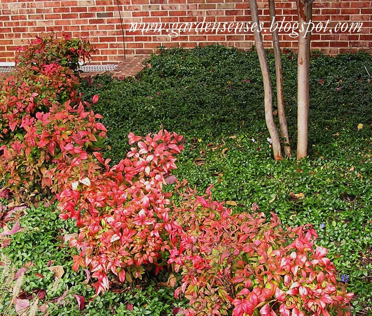 Landscaping With Dwarf Bamboo : Garden sense fall color shrubs