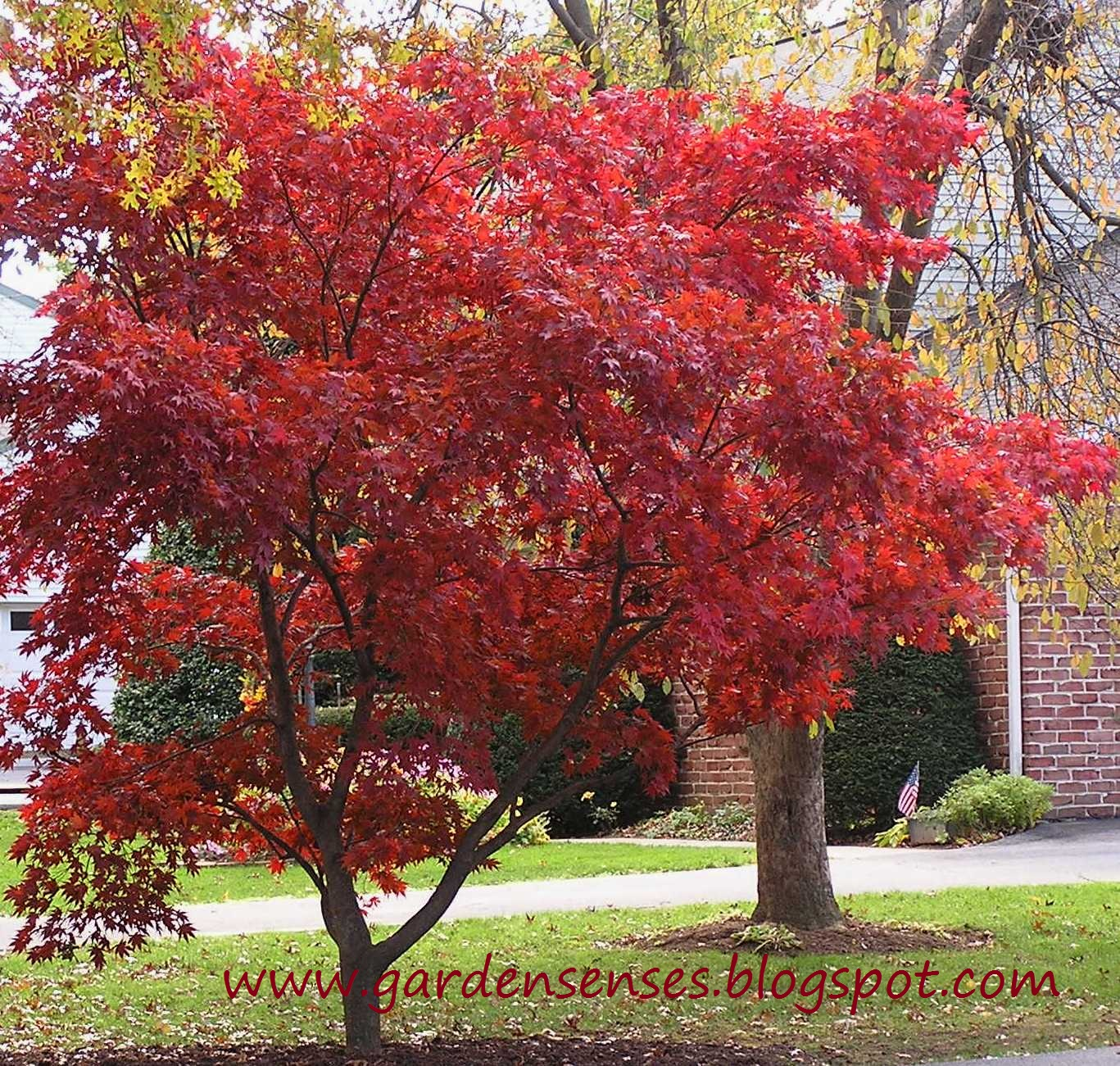 Garden Sense Japanese Maple A Very Special Tree