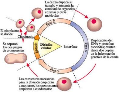 BIOLOGIA MOLECULAR CELULAR: LAS RUTAS DE LA INFORMACION. CONCEPTOS GENETICOS Y DESARROLLO Ciclo_celular02