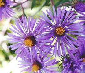 flores aromaticas