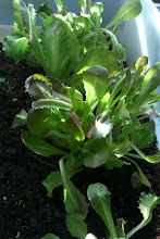 And the lettuce!