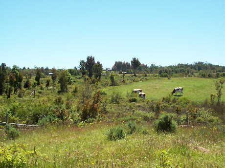 Tenio Valley and cattle