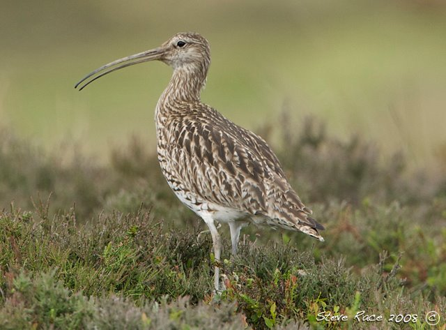 [curlew4]