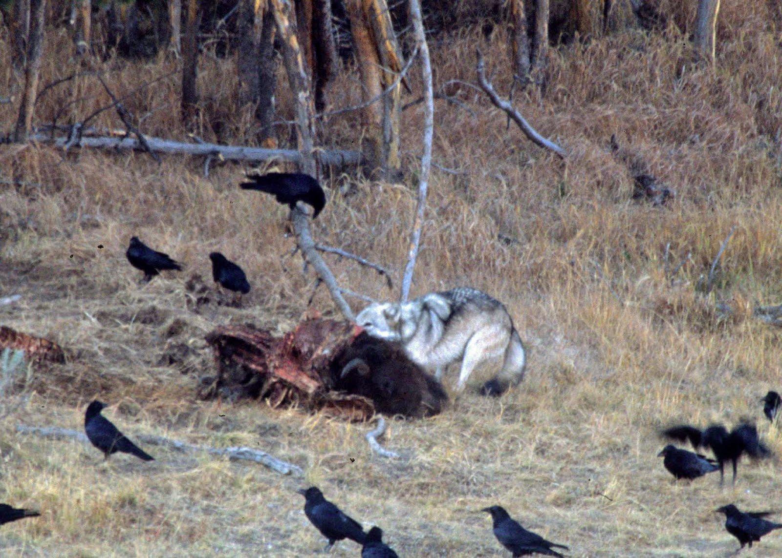 Wolf eating rabbit - photo#24