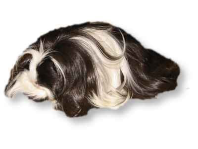 long haired guinea pig pictures