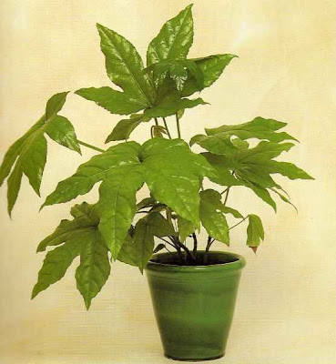 28 indoor plants for oxygen re potting indoor plants for Oxygen plant