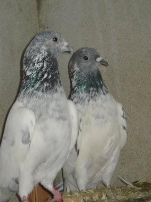 Sialkoti Choohay Pigeons ~ Pakistani Pigeons Videos and Photos