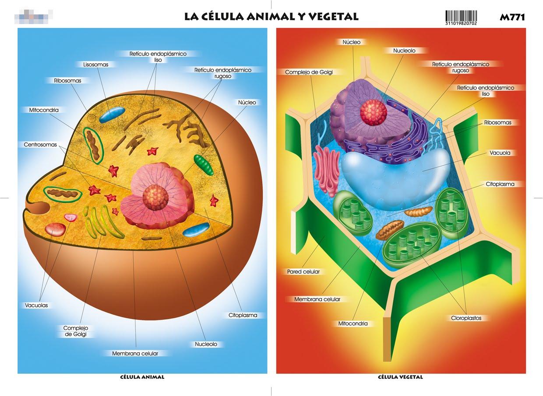 Las C  Lulas Animales Y Vegetales Tienen Una Estructura Muy Diferente