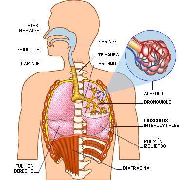 El Aparato Respiratorio: Estructura
