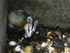 Marsupial, vulgo, Gambá