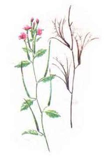 Cum intrebuintam ceaiul de pufulita cu flori mici?