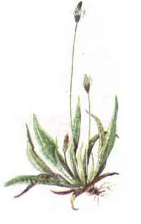Intrebuintarea ceaiului de patlagina ingusta