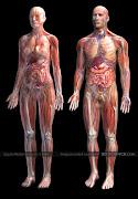 Asam Urat, Rematik dan Pengapuran Tulang