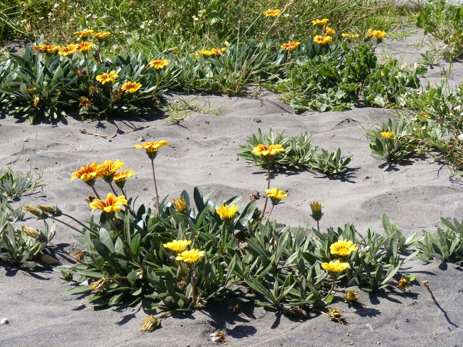Photographing New Zealand Flowers In The Sand