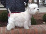 Champion Ming - A Westie Mom and Grandmother