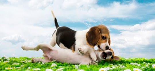 Acasalamento - Amor canino