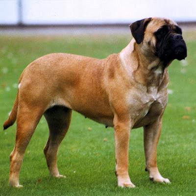 Jenis-jenis Anjing Penjaga Paling Populer di Dunia