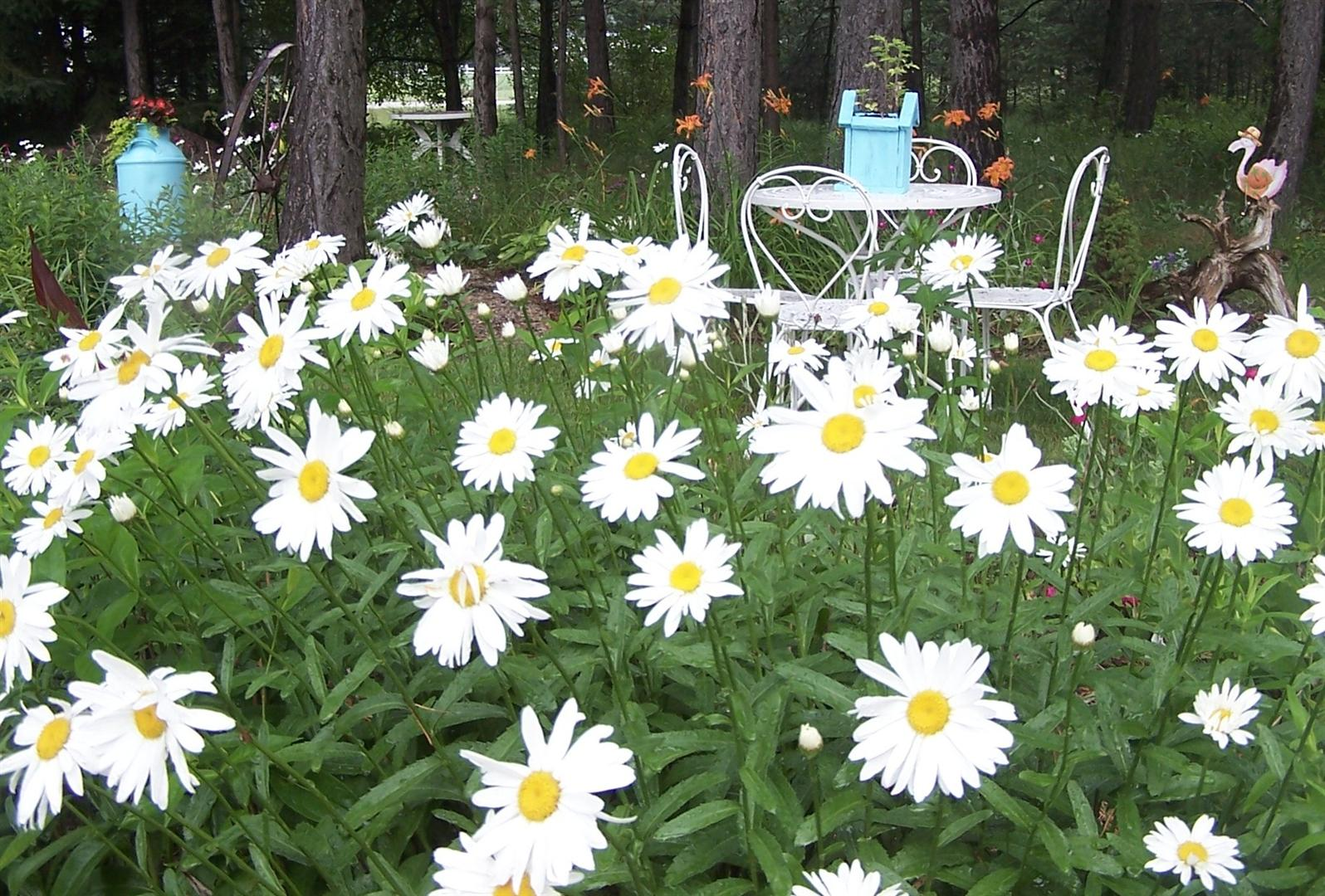 Perennial passion shasta daisies make great centerpieces to my eyes few flowers drag down the looks of garden more than a big clump of dead shastas but for the next week or so they will look all fresh izmirmasajfo