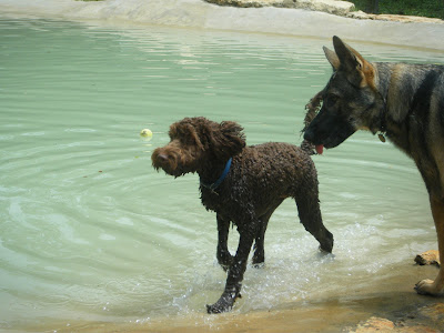 Alfie trots through the shallows on the edge of the pond, while German Shepherd, Twist, looks on