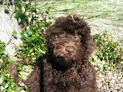 Alfie sits in some greenery near a tree trunk, looking at the camera.  His curly fur is the color of a dark-roast coffee over most of his body, lighter chocolate around his face and pinkish brown nose.  In the sun his eyes look greenish.