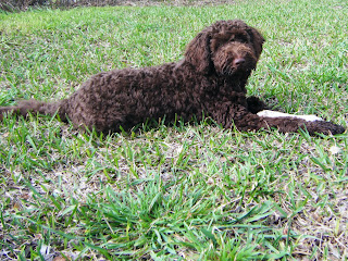 Alfie lying down in the grass at home with a bone...his scruffy little face could never look too serious!