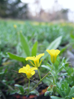 closeup of tiny, bright yellow flowers in a field of green