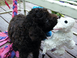 puppy grabs a dangling toy