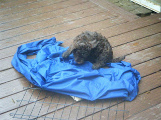 puppy pounces on a blue jacket spread over wire grate