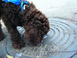 Alfie sniffs a manhole cover