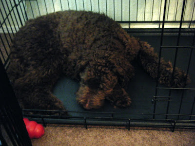 Alfie's curled up contentedly asleep in his wire crate; a red kong is holding the door ajar