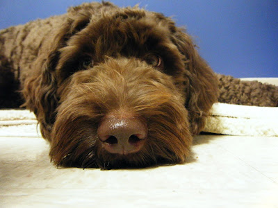 super close up shot of Alfie's face & nose in front of a blue background; his head is lying on the floor and he's wearing a glum look