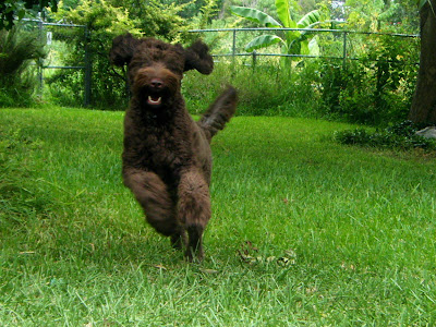 Alfie's a brown furry blur as he bounds toward you, ears flying, tail out to one side, front paws in the air
