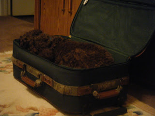 Alfie's actually asleep in the suitcase now and is really squished with his head, legs, tail and all somehow mashed inside; it's hard to tell which end is which, it's just a mass of brown curly fur
