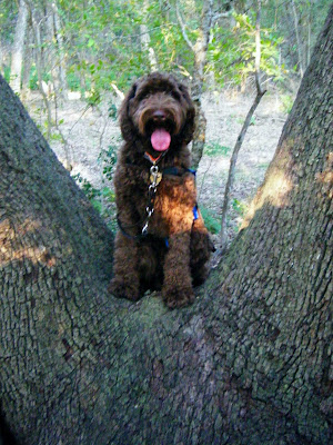 Alfie's sitting, pink tongue out, in the low crook of a liveoak tree; there's one giant branch on each side of him and the place where the branches meet forms a wide place low enough for him to sit in