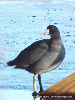 American Coot, 11/29/10 Great Meadows - Concord