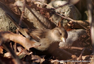 House Sparrows, 12/02/10 Broadmoor