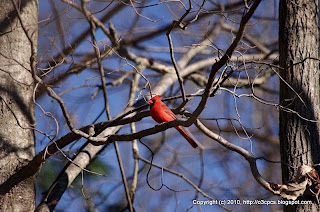Northern Cardinal, 12/02/10 Broadmoor