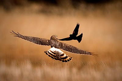 Female Harrier mobbed by male Red-winged Blackbird (c) John Ashley