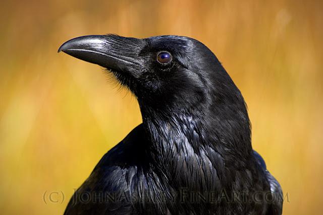 Curious Raven (c) John Ashley